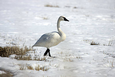 Photograph - Tundra Swan - 0060 by S and S Photo