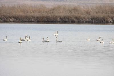 Photograph - Tundra Swan - 0061 by S and S Photo