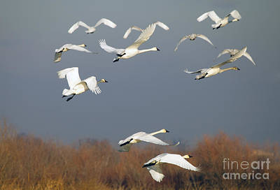Swan Photograph - Tundra Swan Takeoff by Mike  Dawson