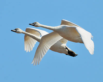 Photograph - Tundra Swans by Craig Leaper