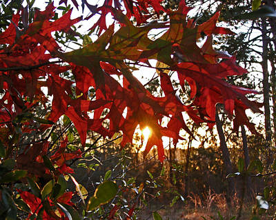 Photograph - Turkey Oak At Sunset by Peg Urban