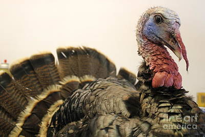 Turkey Taxidermy Art Print by Theresa Willingham