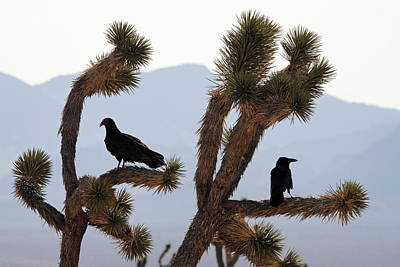 Photograph - Turkey Vulture And A Crow On A Joshua Tree by Pierre Leclerc Photography