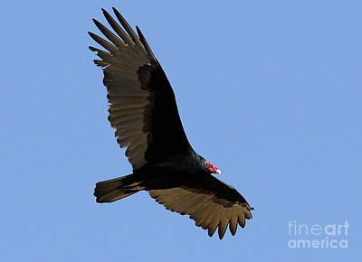 Turkey Vulture Art Print by Marc Bittan