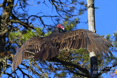 Buzzard Photograph - Turkey Vulture With Wings Spread by Westcoast Images