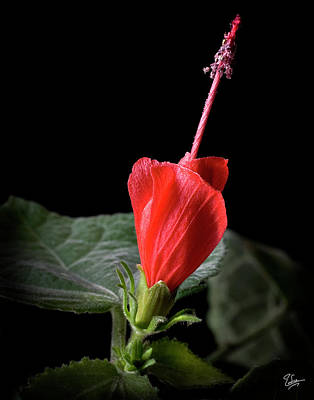 Photograph - Turk's Cap by Endre Balogh