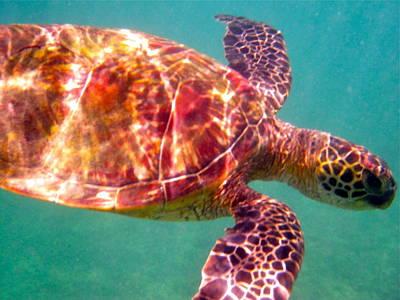 Photograph - Turtle 4 by Erika Swartzkopf