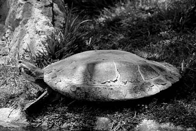 Photograph - Turtle  by Elizabeth  Doran