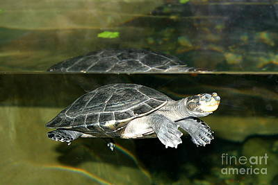 Farmhouse Rights Managed Images - Turtle Royalty-Free Image by Henrik Lehnerer
