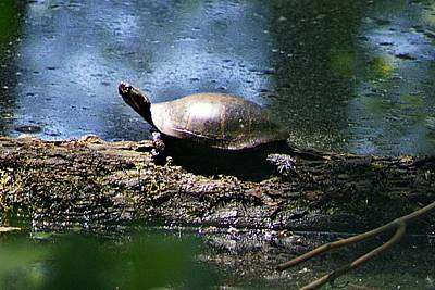 Photograph - Turtle I by Joe Faherty