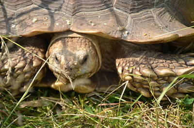 Photograph - Turtle by Randy J Heath