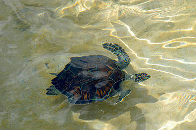 Photograph - Turtle Ripple by Stacey Robinson