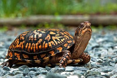Photograph - Turtle Shine by Gene Hilton