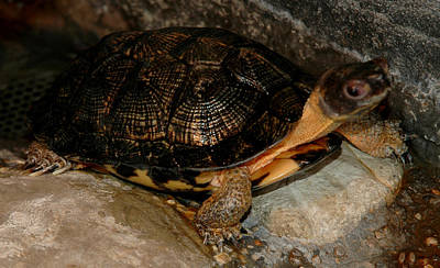 Photograph - Turtle Time On The Rocks by LeeAnn McLaneGoetz McLaneGoetzStudioLLCcom