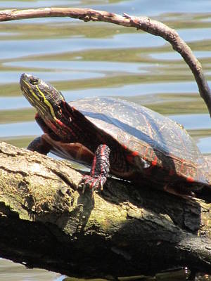 Photograph - Turtle by Todd Sherlock