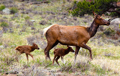 Nature Photograph - Twin Elk Calves by Shane Bechler
