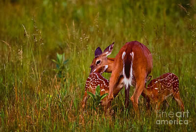 Nursing Deer Photograph - Twin Fawns Nursing by Joe Elliott