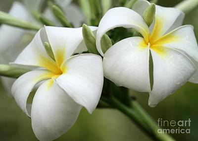 Photograph - Twin Plumeria Flowers by Sabrina L Ryan