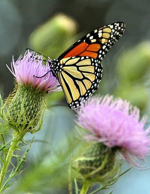 Twin Thistle Butterfly Art Print by Marty Koch