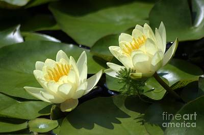 Photograph - Twin Water Lilies by Living Color Photography Lorraine Lynch