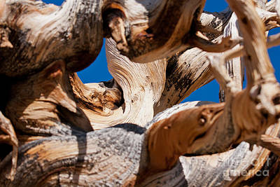 Photograph - Twisted Bristlecone Pine by Olivier Steiner