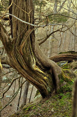 Twisted Cedar Art Print by Marty Koch