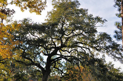 Photograph - Twisted Oak by Jan Amiss Photography