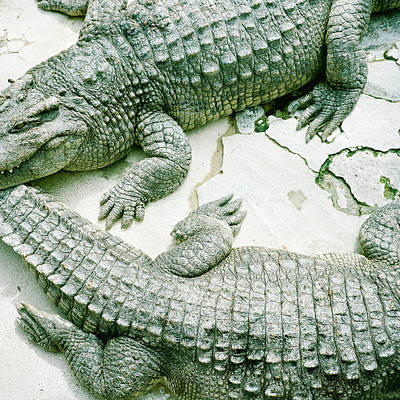 Two Alligators Art Print by Yasushi Okano