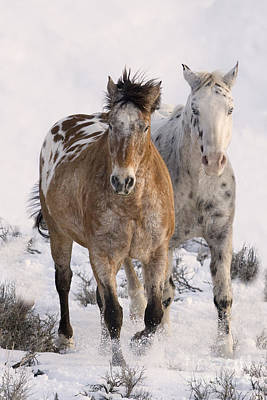 Horse Snow Photograph - Two Appaloosas by Carol Walker