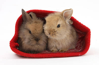 Two Baby Lionhead-cross Rabbits Print by Mark Taylor