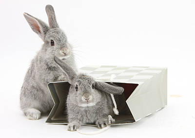 Photograph - Two Baby Silver Rabbits In A Gift Bag by Mark Taylor