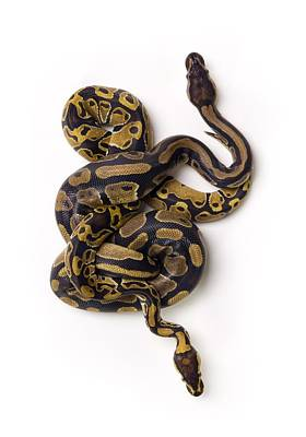 Ball Python Photograph - Two Ball Python Snakes Intertwined by Corey Hochachka