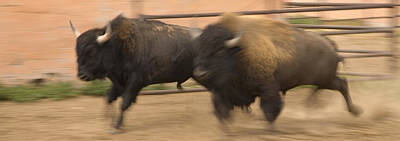 Two Bison Race Each Other Art Print by Ralph Lee Hopkins