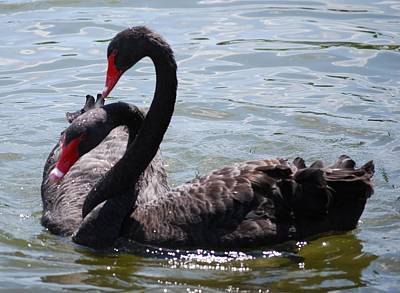 Two Black Swans Art Print by Carrie Munoz