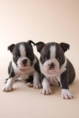 Boston Terrier Photograph - Two Boston Terrier Puppies by Mixa