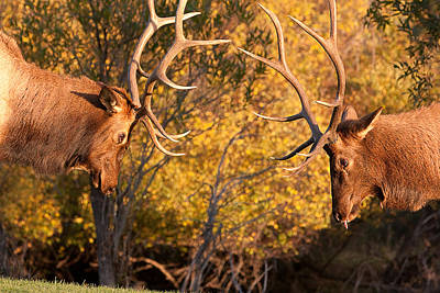 Photograph - Two Bull Elk Sparring 83 by James BO Insogna