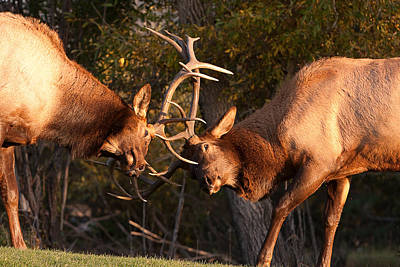 Kim Fearheiley Photography - Two Bull Elk Sparring 92 by James BO Insogna