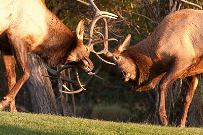 Two Bull Elk Sparring 94 Art Print by James BO  Insogna