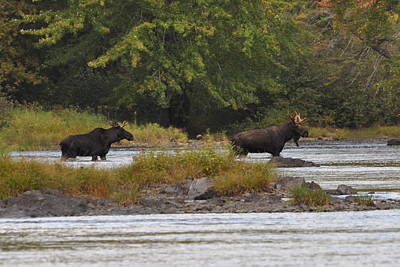 Photograph - Two Bull Moose In Maine by Glenn Gordon