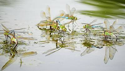 Dragonflies Mating Photograph - Two By Four by Fraida Gutovich