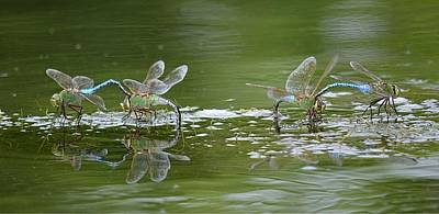 Dragonflies Mating Photograph - Two By Two 2 by Fraida Gutovich