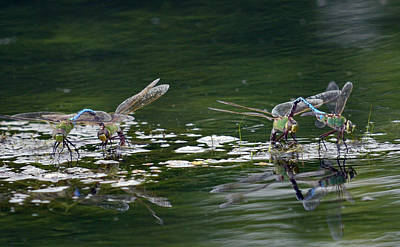 Dragonflies Mating Photograph - Two By Two by Fraida Gutovich