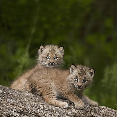 Canadian Lynx Photograph - Two Canada Lynx Lynx Canadensis Kittens by Richard Wear