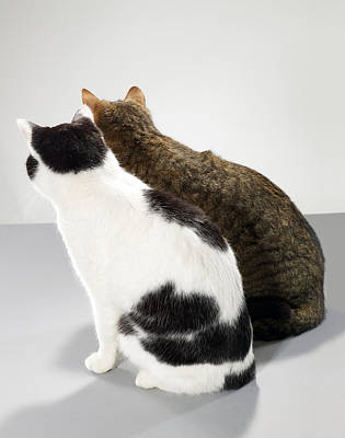 Gray Tabby Photograph - Two Cats Sitting Side By Side, Rear View by Michael Blann