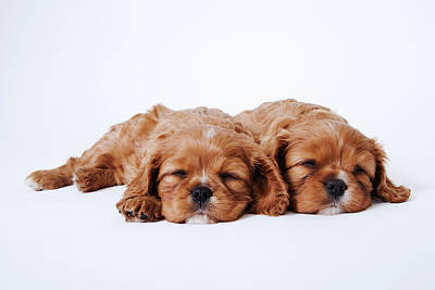 Two Cavalier King Charles Spaniel Puppies Sleeping In Studio Art Print by Martin Harvey