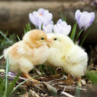 Two Chicks Kissing Art Print