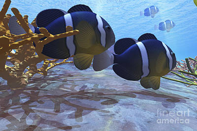 Two Clownfish Swim Among The Coral Beds Art Print