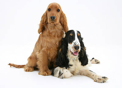 Golden Cockers Photograph - Two Cocker Spaniels by Mark Taylor