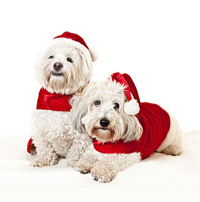 Coton Tulear Photograph - Two Cute Dogs In Santa Outfits by Elena Elisseeva