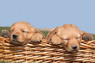 Two Cute Puppies Asleep In Basket Art Print by Cindy Singleton